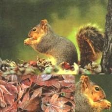Süßes Eichhörnchen - Squirrel