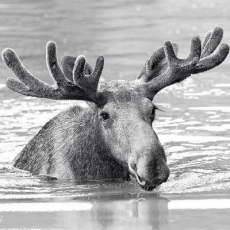 Elch - Moose - Élan