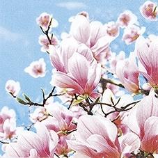 Blühende Magnolie - Blooming Magnolia - Magnolia fleurissant