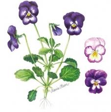 Stiefmütterchen in lila & rosé - Pansies in purple & rosé - Pensées dans lilas & rosé