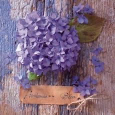 blaue Hortensie vor Holzwand - blue hydrangea in front of wooden wall - Hortensia bleu devant le mur en bois