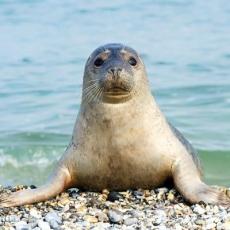 Seehund am Strand - Seal on the beach - Phoque sur la plage