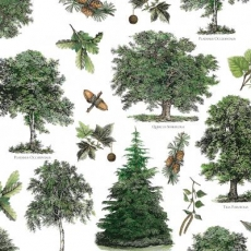 Laub - und Nadelbäume - Deciduous and coniferous trees - Arbres feuillus et conifères