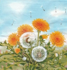 Blühender Löwenzahn - Blooming dandelions - Pissenlits en fleurs