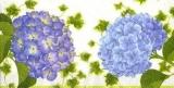Wunderschöne Hortensien - Hydrangea