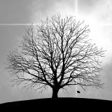 Kahler Baum, Baum ohne Blätter