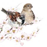 Spatzenpaar auf einem Kirschblütenzweig