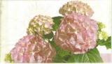 Hortensien rosé