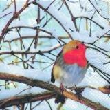 Rotkehlchen im Winter - Robin in a winter tree