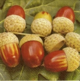 8 Eicheln - 8 Acorns - 8 Glands