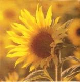 Sonnenblume - Sunflower - Tournesol