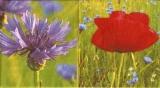 Kornblume & Mohnblume - Cornflower & Poppy - Bleuet & Coquelicot