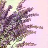 Duft von Lavendel - Scent of lavender - Parfum de la lavande