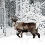 Rentier im Schnee - Reindeer in the snow - Renne dans la neige