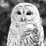 Eule, Schneeeule - Owl - Hibou