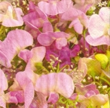 Wunderschöne Wicken pink - Beautiful pink sweet peas - Beaux petits pois rose