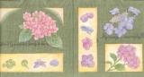 Hortensie - Hydrangea - Hortensia