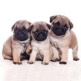 3 kleine Mops-Welpen - 3 little pug puppies - 3 petit chiot carlin