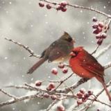 2 Vögel auf Beerenzweigen - 2 birds, Cardinals on berry twigs - 2 oiseaux, cardinaux sur les rameaux de baies