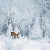 Rehe im Winterwald - Deer in the winter forest - Cerfs dans la forêt dhiver