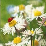 Marienkäfer im Margeritenbeet - Ladybug & daisies - Coccinelle & marguerites
