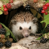 Igel im Unterholz & Beeren - Hedgehog in the undergrowth and berries - Hérisson dans le sous-bois et baies