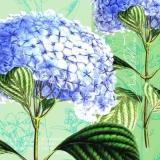 Wunderschöne Hortensien in voller Blüte - Beautiful hydrangea in full bloom - Belle hortensia en pleine floraison