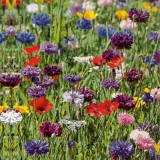 Blumenwiese mit Mohnblumen, Kornblumen..... - Flower meadow with poppies, Cornflowers..... -  Pré de fleurs avec des coquelicots, bleuets.....