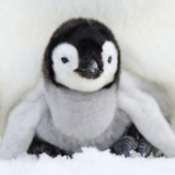 Baby-Pinguin - Baby penguin - Pingouin de bébé
