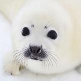 Baby-Robbe - Baby seal - Phoque de bébé