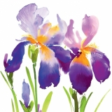 Blaue, lila Iris - Purple Iris - Iris pourpre