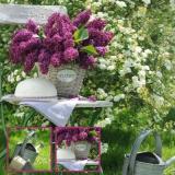 Flieder aus dem Garten - Lilac from the garden - Lilacs du jardin