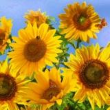 Bienen & Schmetterlinge im Sonnenblumenfeld - Bees & butterflies in a  sunflower field - Abeilles & papillons sur les tournesols