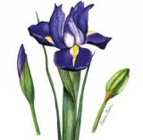 Blaulila Iris - Purple, blue Iris - Bleu Violet Iris