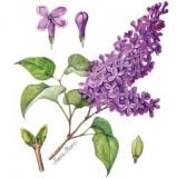 Duftender Flieder - Fragrant lilac - Lilacs Fragrant