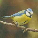 Hübsche Blaumeise, Kohlmeise - Pretty blue tit - Jolie Mésange bleue