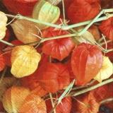 Hübsche Lampionblumen, Physalis - Pretty lantern flowers, Physalis - Jolies fleurs lanternes, Physalis