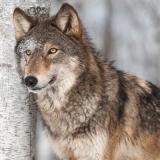 Wunderschöner Wolf - Beautiful wolf - Beau loup