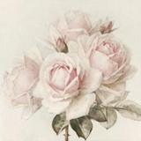 Wunderschöne, zartrosafarbene Rosen - Beautiful, delicate pink roses - Belles roses, rose tendre