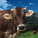 Kühe auf der Alm - Cows on the pasture - Vaches, pâturage
