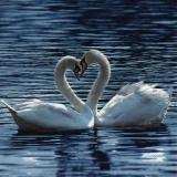 Schwanenpaar - Swan couple - Couple de cygne