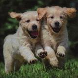 Fröhliche junge Hunde, Welpen, Hund - Cheerful young dogs, puppy, puppies, dog - Joyeux jeunes chiens, chiots, chien