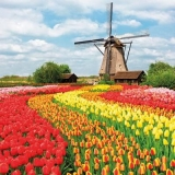 Tulpenfeld, Windmühle, Holland - Tulip field, windmill, Holland - Champ de tulipes, moulin à vent, Hollande
