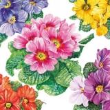 Hübsche, bunte Primeln - Pretty, colorful primroses - Jolies primevères colorées