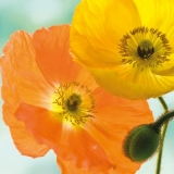 2 hübsche Mohnblüten - 2 pretty poppy flowers - 2 jolies fleurs de pavot
