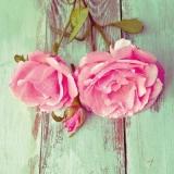 Rosen vor grüner Holzwand - Roses in front of green wooden wall - Roses devant le mur en bois vert