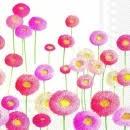 bunte Primeln - colorful primroses - primevères colorées