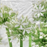 Schmucklilie - Agapanthus - Agapanthes