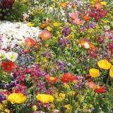 eine schöne bunt blühende Blumenwiese - a beautiful colorful flowering flower meadow - une belle prairie fleurie colorée