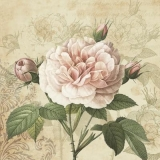 schöne Rose & Rosenknospen - beautiful rose & rosebuds - belle rose et boutons de rose